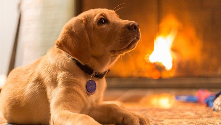 صورة الكلاب في المنزل , تربية الحيوانات في البيت