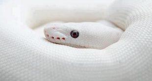 الافعى البيضاء في المنام لابن سيرين , تفسير الافعى البيضاء فى المنام لابن سيرين