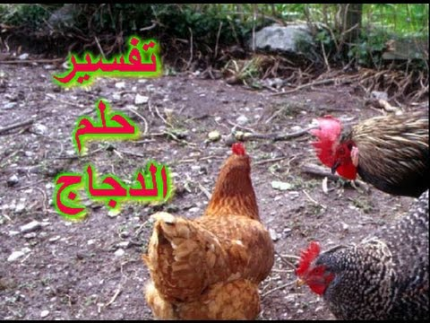 صورة تفسير الاحلام دجاج , تفسير رؤية الدجاج في المنام