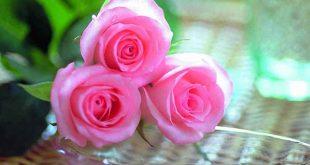 بالصور صور ورد جميلة , سحر الزهور 1697 11 310x165