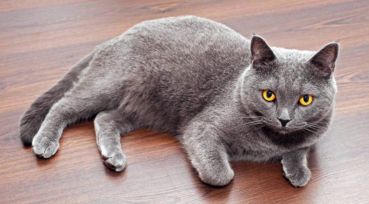 بالصور اغلى قطة في العالم , من الحيوانات الاليفة التى يحبها الاطفال فى المنزل 5836 1