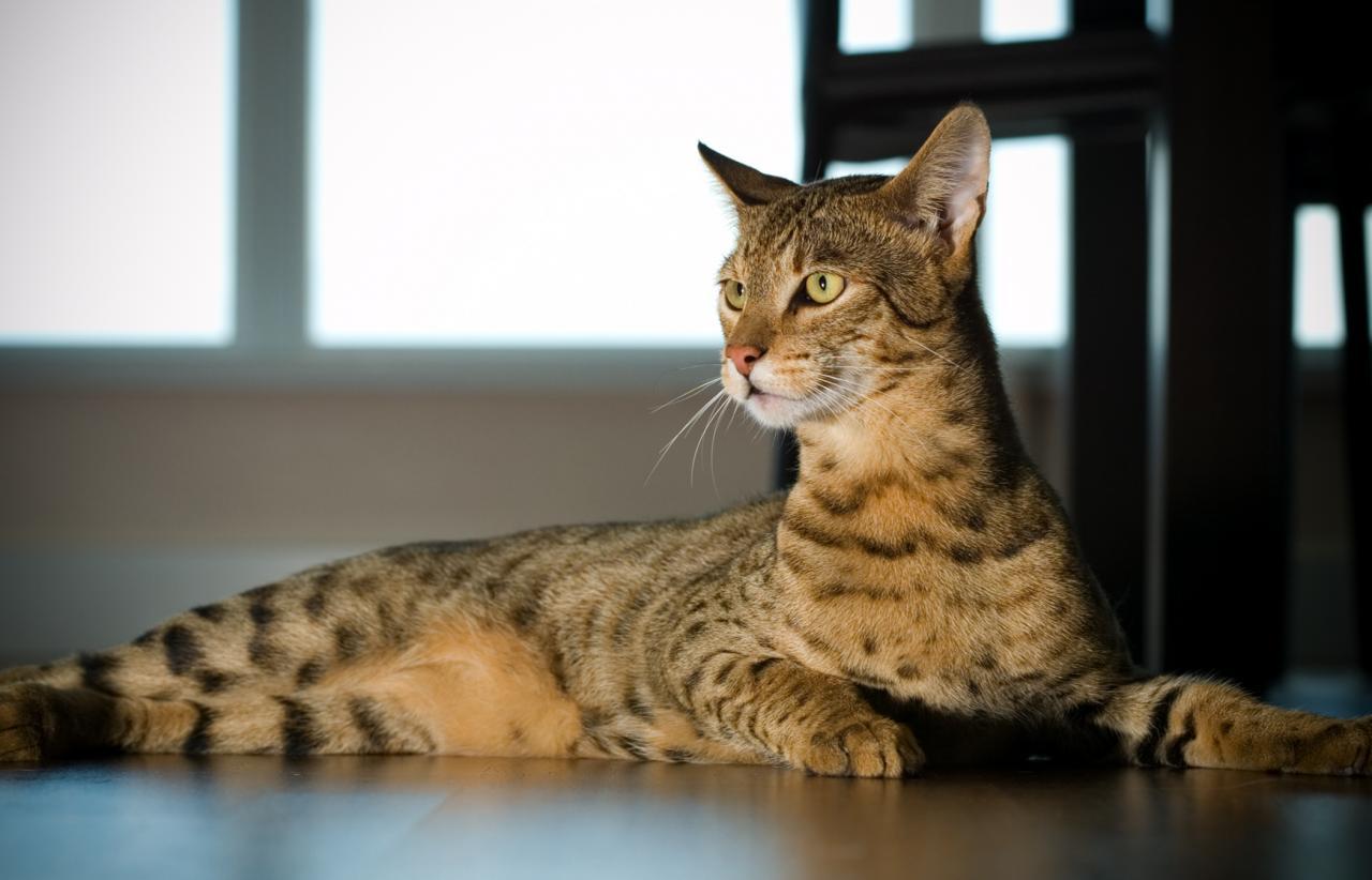بالصور اغلى قطة في العالم , من الحيوانات الاليفة التى يحبها الاطفال فى المنزل 5836 10