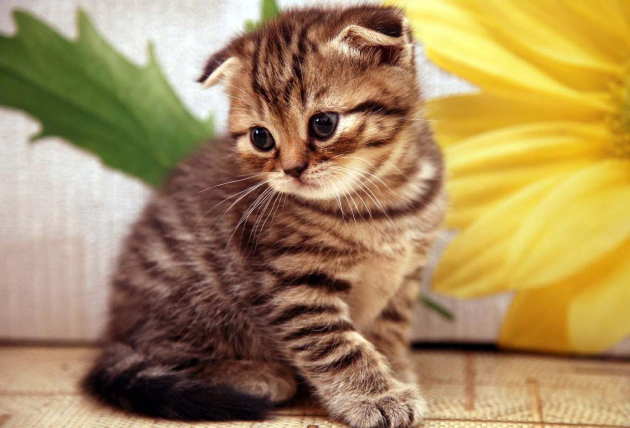 بالصور اغلى قطة في العالم , من الحيوانات الاليفة التى يحبها الاطفال فى المنزل 5836 3
