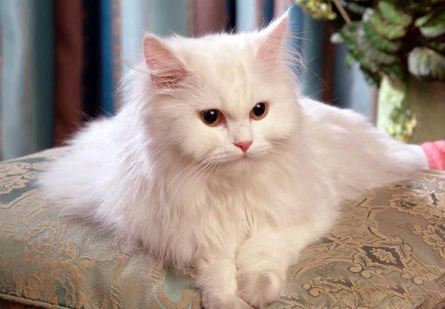 بالصور اغلى قطة في العالم , من الحيوانات الاليفة التى يحبها الاطفال فى المنزل 5836 4