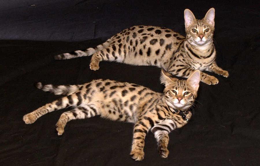 بالصور اغلى قطة في العالم , من الحيوانات الاليفة التى يحبها الاطفال فى المنزل 5836 6