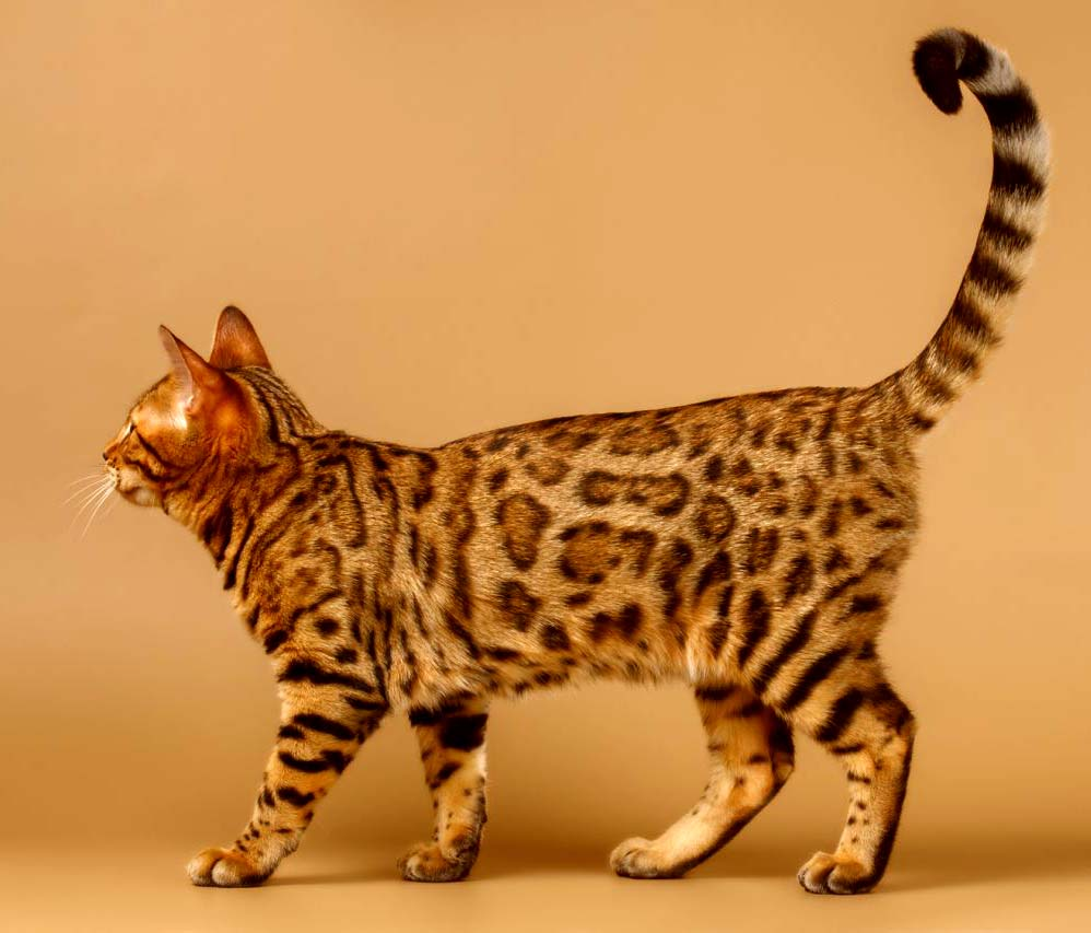 بالصور اغلى قطة في العالم , من الحيوانات الاليفة التى يحبها الاطفال فى المنزل 5836 7