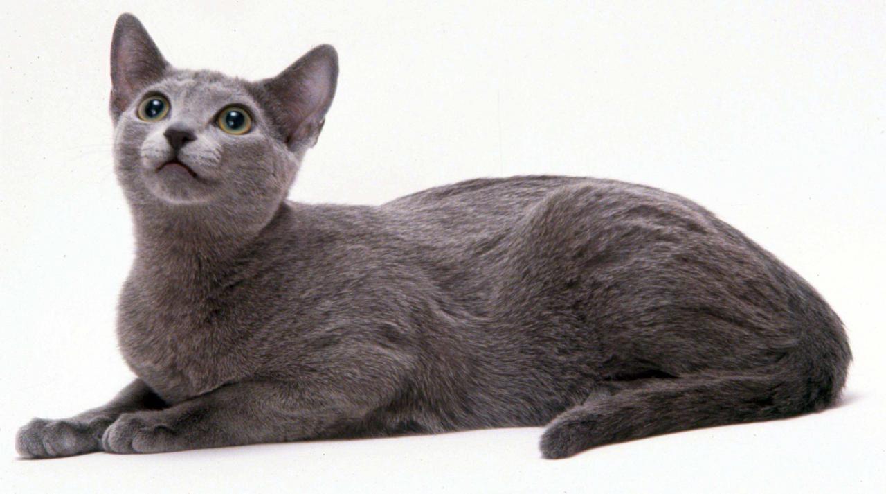 بالصور اغلى قطة في العالم , من الحيوانات الاليفة التى يحبها الاطفال فى المنزل 5836 8