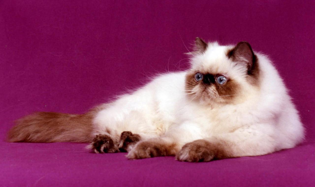 بالصور اغلى قطة في العالم , من الحيوانات الاليفة التى يحبها الاطفال فى المنزل 5836 9
