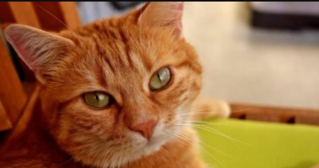 بالصور اغلى قطة في العالم , من الحيوانات الاليفة التى يحبها الاطفال فى المنزل 5836