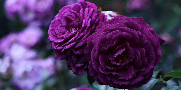بالصور خلفيات ورد بنفسجي , اجمل صور لزهور بنفسجية 612 6