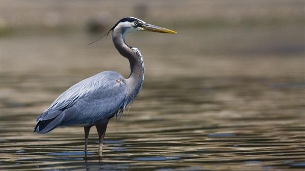 صورة من الطيور مكون من عشر حروف , بعض المعلومات التي لن تعرفها من قبل عن مالك الحزين