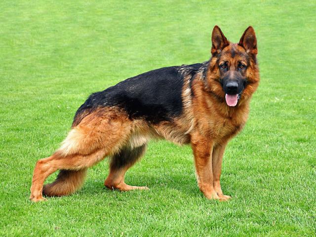 صورة صور كلاب بوليسى , الكلاب القوية الشرسة