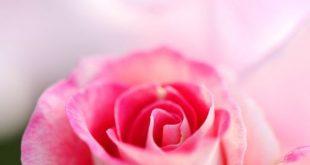 بالصور ورود جميلة جدا , تشكيلة من اروع انواع الزهور المختلفة 1894 13 310x165