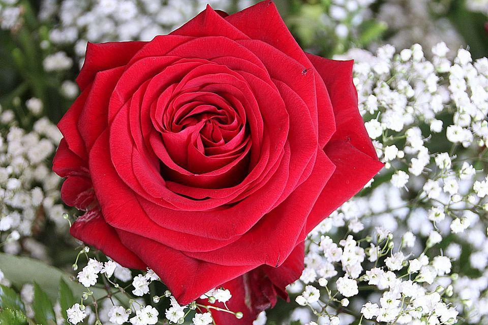 صورة معلومات عن ورد الجوري , اغلى و افخم العطور تاتى من الورد الجورى