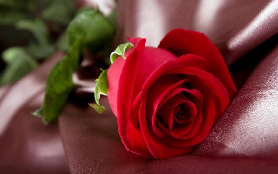 صورة معلومات عن ورد الجوري , اغلى و افخم العطور تاتى من الورد الجورى 5626