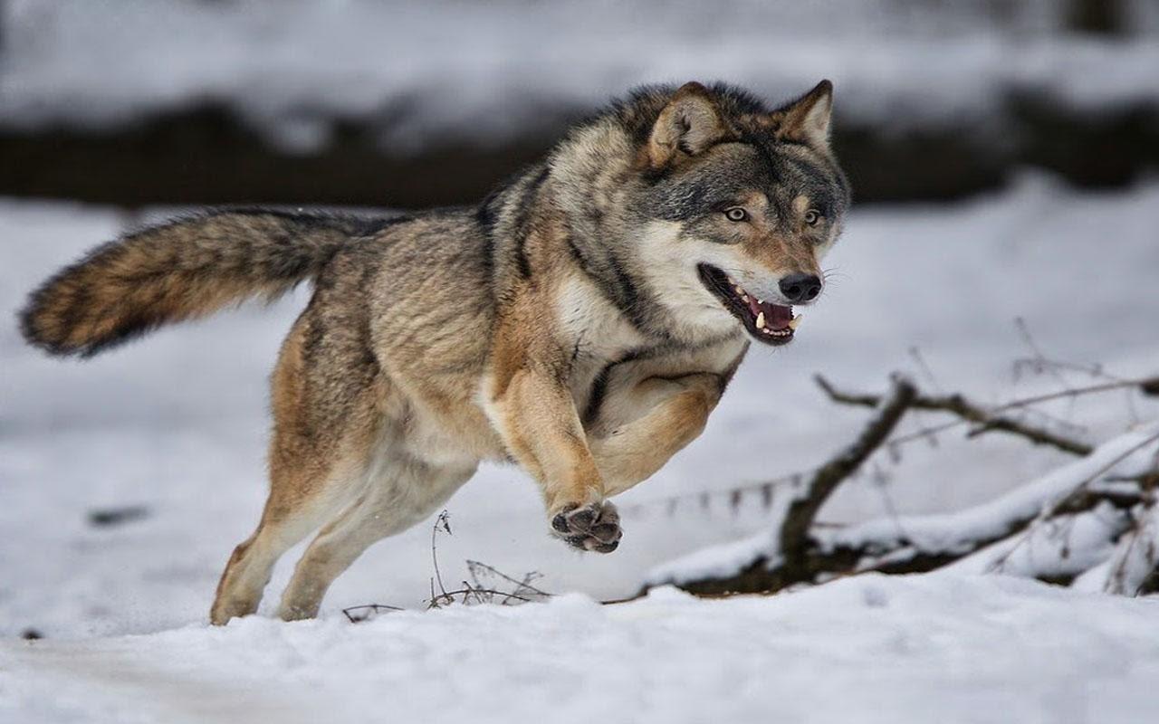 صور رؤية الذئب في المنام , الحيوانات المفترسة بما تفسر