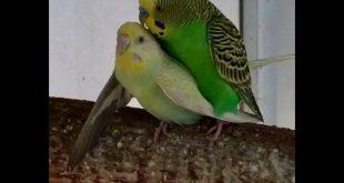 بالصور طريقة تزاوج الطيور , ما هى الطريقة المتعارف عليها لتزواج الطيور 874 12 310x165