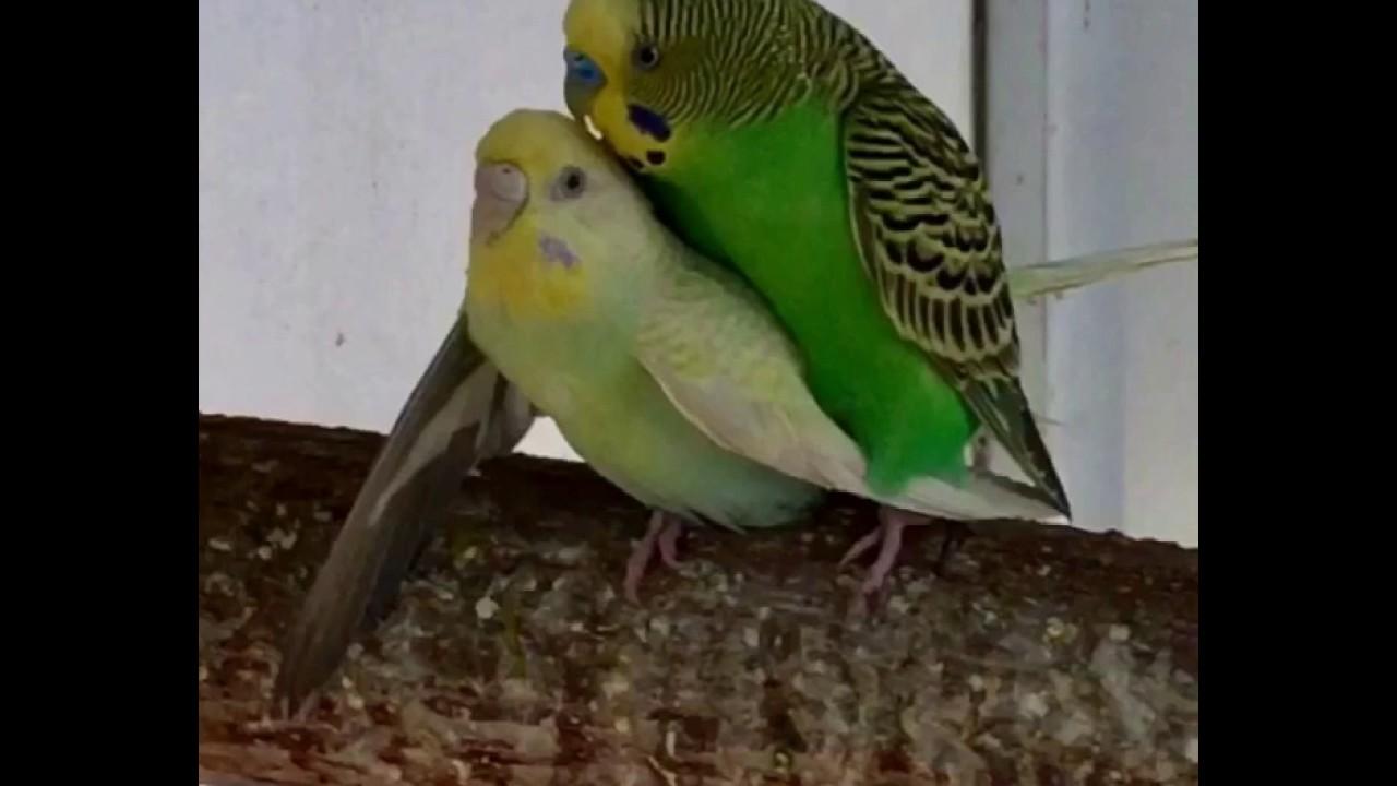 صور طريقة تزاوج الطيور , ما هى الطريقة المتعارف عليها لتزواج الطيور