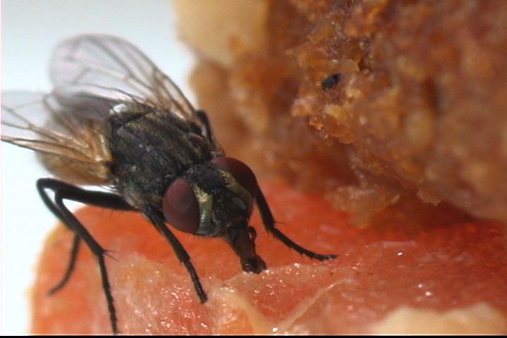 صور طرق مكافحة الذباب المنزلي , كيف تتخلص من الذباب