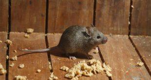 صور كيف تتخلص من الفئران , طريقه مضمونه للتخلص من الفئران