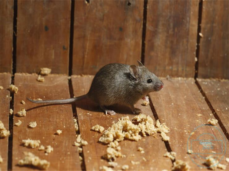 صورة كيف تتخلص من الفئران , طريقه مضمونه للتخلص من الفئران