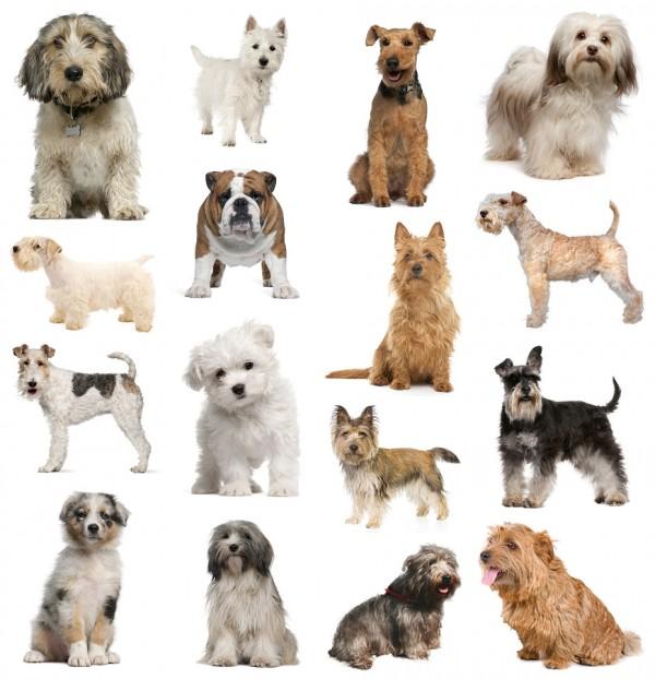 صورة انواع الكلاب الصغيرة واسمائها , تعرف على جميع اسماء الكلاب