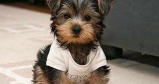 صور انواع الكلاب الصغيرة واسمائها , تعرف على جميع اسماء الكلاب