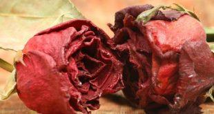 صورة طريقة تجفيف الورد , احتفظ برائحة الورد بعد تجفيفه