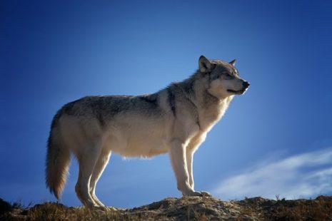 صور تفسير حلم الذئب يلاحقني , تفسير رؤية الذئب في المنام