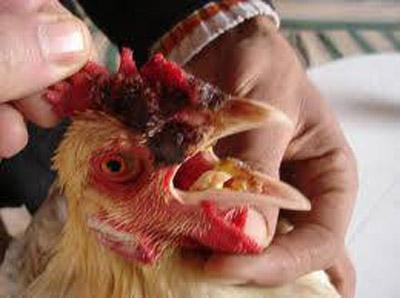 صورة علاج الجمبورو بالاعشاب , اقضي على الجمبورو بتلك الاعشاب