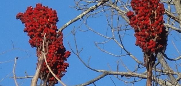 صور ما هو السماق بالمصرى , ما هو نبات السماق