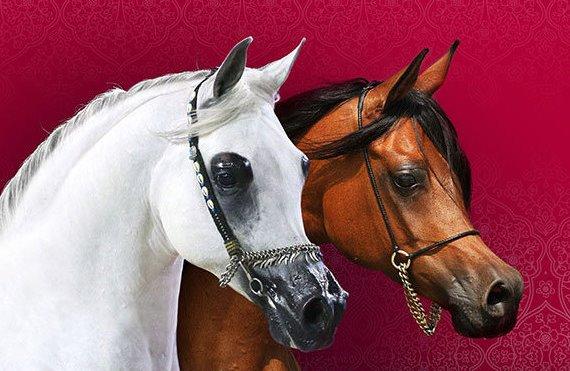 صورة اجمل خيول عربية , صور لاجمل الخيول العربية