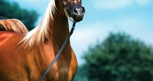 صور اجمل خيول عربية , صور لاجمل الخيول العربية