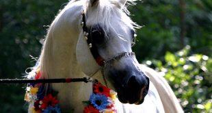 صور اجمل صور للخيل , خلفيات خيول عربية اصيلة