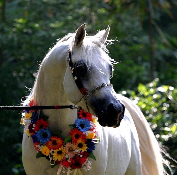 صورة اجمل صور للخيل , خلفيات خيول عربية اصيلة
