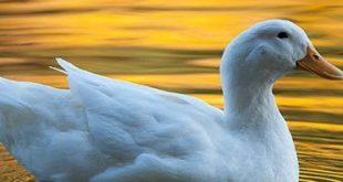 صور افضل انواع البط , معلومات عن سلالات البط