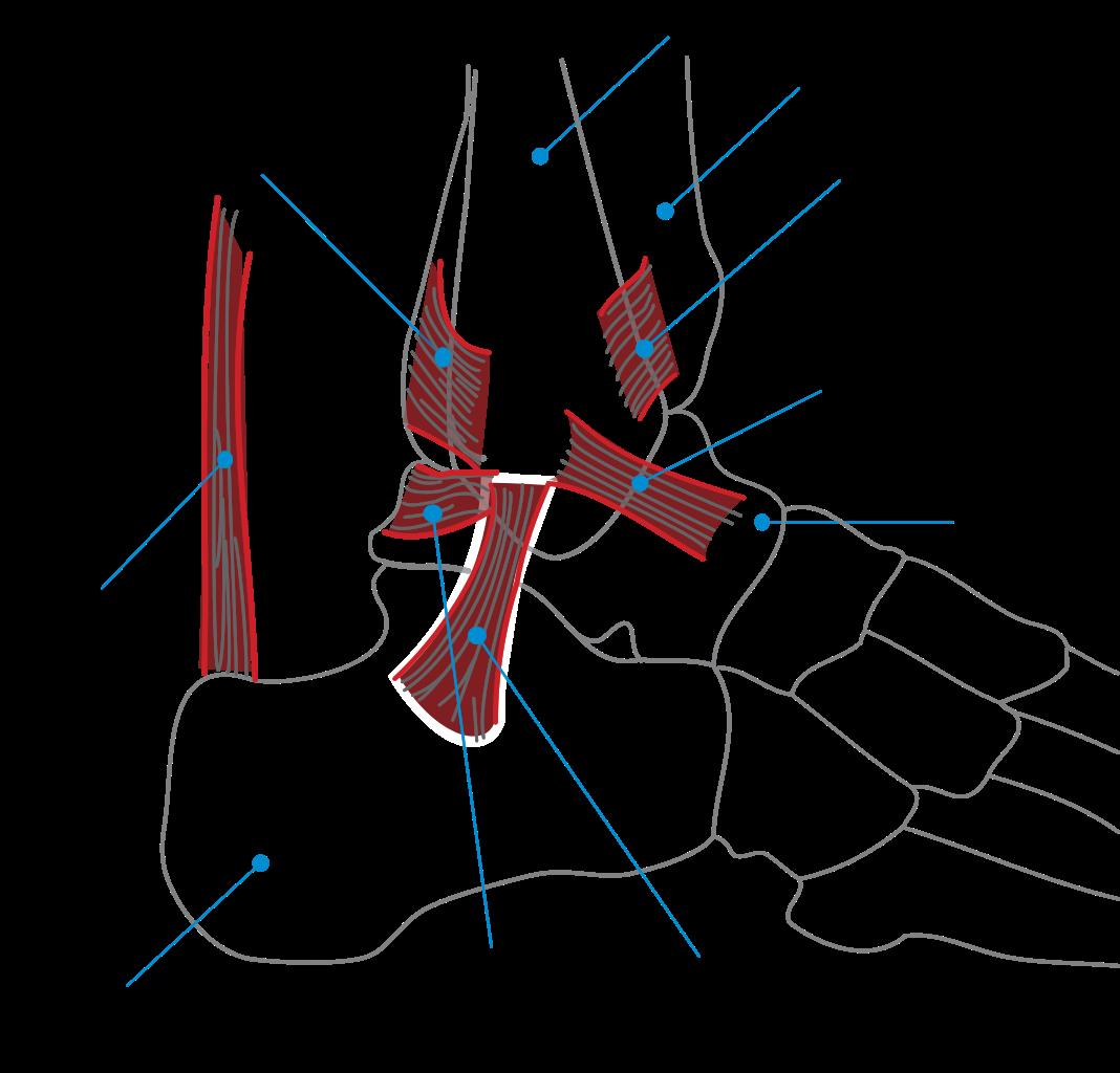 صور اعراض الرباط الصليبي , علامات واعراض الرباط الصليبي