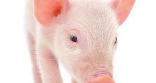صور الخنزير في المنام لابن سيرين , تفسير رؤية الخنزير في نوم