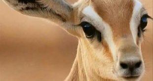 صورة عيون المها صور , شاهد جمال تلك العيون