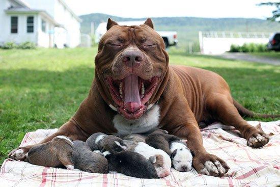 صورة صور كلب بيتبول , اشرس الكلاب