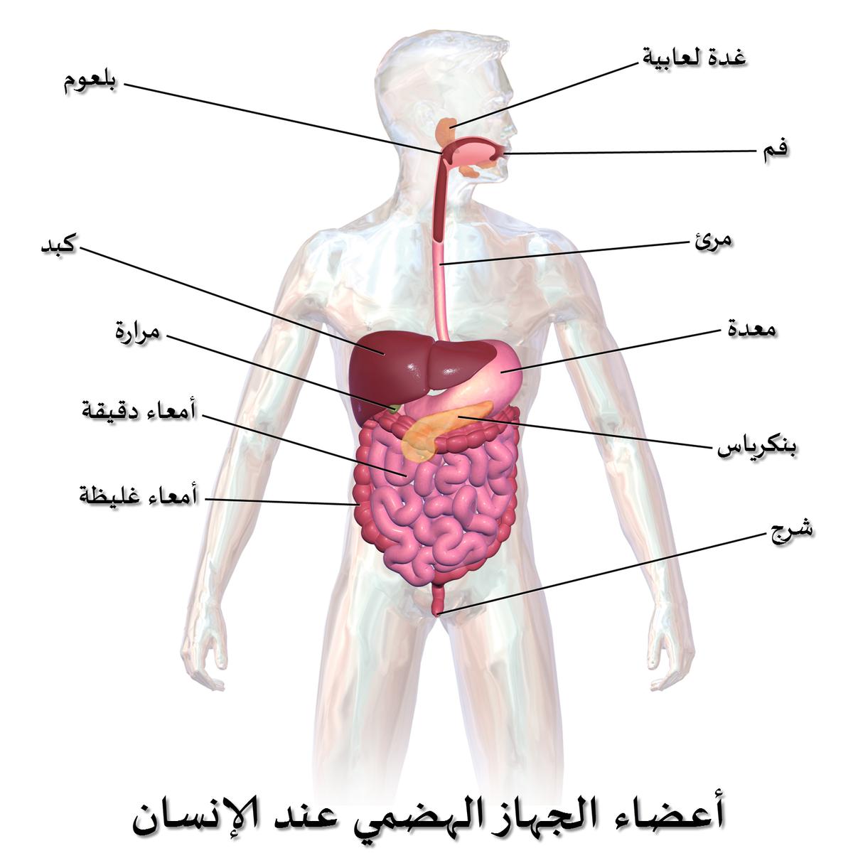صورة صور لجسم الانسان , مناطق حيوية بجسمنا