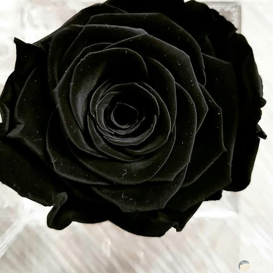 صورة صور ورده سوداء , شاهد جمال الورد الاسود