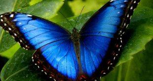 وجودها فى المنام نظير شئوم , الفراشة في الحلم