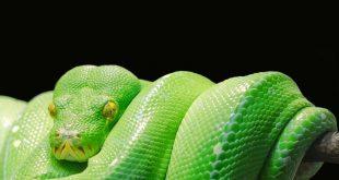الحلم بالثعبان الاخضر,هل تعلمى ما هو تفسير رؤية الثعبان الأخضر فى المنام